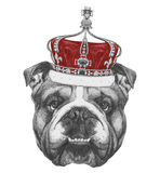 Original drawing of English Bulldog  with crown. On white background Royalty Free Stock Images