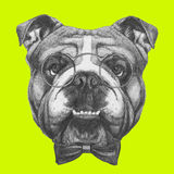 Original drawing of English Bulldog with glasses and bow tie. Isolated on colored background Royalty Free Stock Images