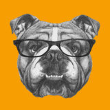 Original drawing of English Bulldog with glasses. On colored background Stock Photography