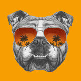 Original drawing of English Bulldog with mirror sunglasses. On colored background Royalty Free Stock Photo
