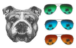 Original drawing of English Bulldog with mirror sunglasses. Isolated on white background Stock Images