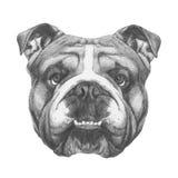 Original drawing of English Bulldog. On white background Royalty Free Stock Photos