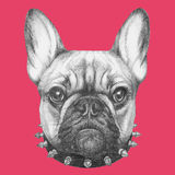 Original drawing of French Bulldog with collar. On colored background Stock Image