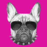 Original drawing of French Bulldog with collar and sunglasses. On colored background Royalty Free Stock Photo