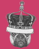 Original drawing of French Bulldog with crown. Isolated on colored background Stock Photography