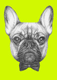 Original drawing of French Bulldog with glasses and bow tie. Isolated  on  colored background Stock Photography