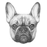 Original drawing of French Bulldog. Isolated on white background Royalty Free Stock Image