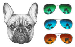Original drawing of French Bulldog with mirror sunglasses. On white background Stock Photography