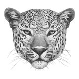 Original drawing of Leopard. Isolated on white background Stock Image