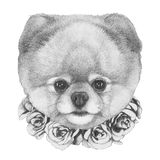Original drawing of Pomeranian with floral wreath. On white background Stock Photo