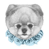 Original drawing of Pomeranian with floral wreath. On white background Royalty Free Stock Photography