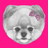 Original drawing of Pomeranian with pink bow. On colored background Stock Images