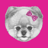 Original drawing of Pomeranian with pink bow. Isolated on colored background Royalty Free Stock Images
