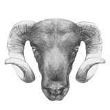 Original drawing of Ram. Isolated on white background Royalty Free Stock Photos