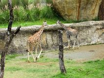 original em Colômbia estes girafas bonitos foto de stock royalty free