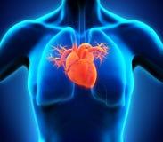 original för illustration för anatomihandhjärta målad mänsklig Royaltyfria Foton