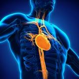 original för illustration för anatomihandhjärta målad mänsklig Arkivbild