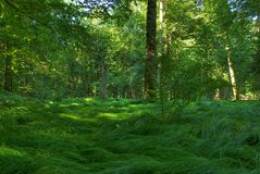 Original forest in Bialowiesa Royalty Free Stock Photos