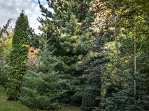 Original green background of mixed texture of evergreens: Thuja occidentalis Columna, Buxus sempervirens stock images