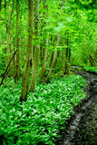 Original green forest with wild garlic in spring in Estonia, Europe Royalty Free Stock Photography