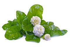 Jasmine flower cut out with isolated background royalty free stock images