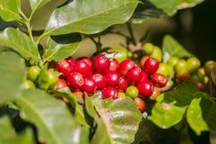 Original- koffein i rått kaffe royaltyfri bild