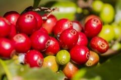 Original- koffein i rått kaffe arkivfoton