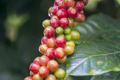 Original- koffein i rått kaffe royaltyfria foton