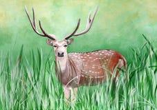 Original- målning av en manlig cheetal hjort i grässlätten av Dhikala, Jim Corbett royaltyfri illustrationer