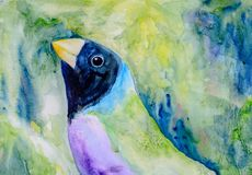 Original painting of a Gouldian finch. Original watercolour portrait painting of a black head Gouldian Finch Stock Photos