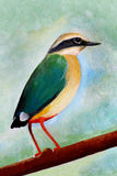 Original painting of Indian Pitta, Ranthambore National Park Stock Photography