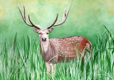 Original painting of a male cheetal deer in the grassland of Dhikala, Jim Corbett Royalty Free Stock Images