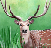 Original painting of a male cheetal deer in the grassland of Dhikala, Jim Corbett Stock Images