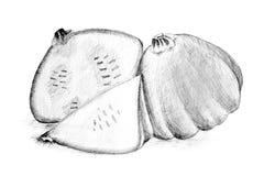 Original pencil drawing by the bush pumpkin or squash Stock Images