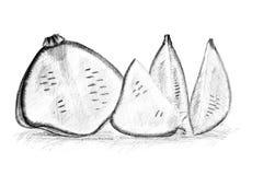 Original pencil drawing by the bush pumpkin or squash Stock Photo