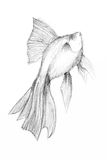 Original pencil drawing by the fish. Pencil drawing by the fish on the white paper. Original pencil or drawing charcoal, and hand drawn painting Stock Photography
