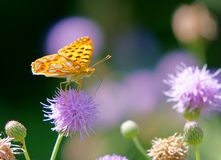 Free Original Photos From The Life Of Butterflies. Natural Background Royalty Free Stock Image - 162912396