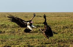 Lappet-faced vulture fight stock photos