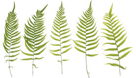 Original size full frame of the collected Leaf fern isolated on Stock Photos