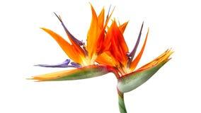 Original- stor blomma av purpurfärgade härliga färger som är orange och royaltyfri bild