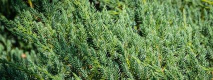 Original- textur av naturliga visare för matta för lue för Juniperussquamata 'Ð' Blått med grön bakgrund av grunda visare arkivfoto