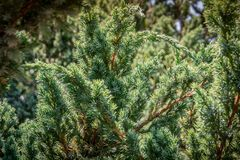 Free Original Texture Of Juniperus Squamata Meyeri Needles. Blue With Green Background Of Shallow Needles. Macro Needles Royalty Free Stock Photos - 132189768