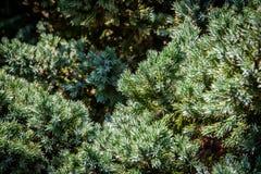 Free Original Texture Of Juniperus Squamata Meyeri Needles. Blue With Green Background Of Shallow Needles. Macro Needles In The Sunligh Stock Image - 132133641