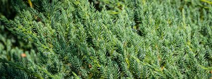 Free Original Texture Of Natural Juniperus Squamata `Вlue Carpet Needles. Blue With Green Background Of Shallow Needles. Stock Photo - 132026700