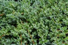 Free Original Texture Of Natural Juniperus Squamata `Вlue Carpet` Needles. Blue With Green Background Of Shallow Needles Royalty Free Stock Photo - 162225595