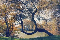 Original tree on the shore of a small lake Royalty Free Stock Images