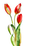 Original Tulips flowers Royalty Free Stock Image