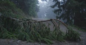 Broken spruce tree top inclined to the land in the Carpathians in slo-mo stock video