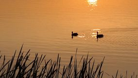Two Brown Ducks Swim in a Beautiful Lake at Sunset in Slow Motion. An Original View of a Couple of Ducks Swimming Peacefully in a Picturesque Lake With Bulrush stock video