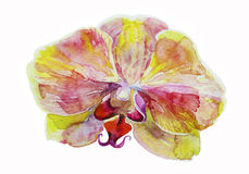Original watercolor pink and yellow orchid on white background. Original pink and yellow orchid watercolor botany illustration on white background Royalty Free Stock Images